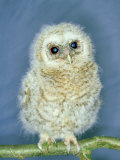 Tawny Owl, Young, UK