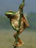 Common Tree Frog, Hyla Arborea, Greece