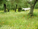 Wildflower in Olive Grove with Donkey, Greece
