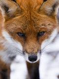 Red Fox, Portrait of Face, Lancashire, UK