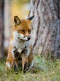 Red Fox, Sitting in Grass Next to Pine Tree, Lancashire, UK