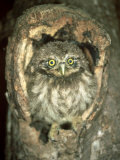 Little Owl, Juvenile, England