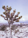 Joshua Trees Grow in the Foothills Leading to Mt. Charleston, north of Las Vegas, Nevada, USA