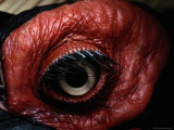 Close View of the Eye of a Southern Ground Hornbill
