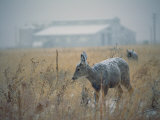 A Young Deer is Blanketed by the Falling Snow