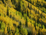 Evergreen and Quaking Aspen Trees Blanket Red Mountain in Colorado