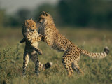A Pair of Young African Cheetahs Engage in a Playfight