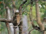 A Brown Fish Owl, Native to India, Perches in a Tree