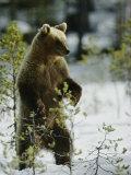 A Brown Bear Runs over a Frozen Bog in Winter