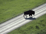 A Bison Bull Ambles Across Lamar Valley Road