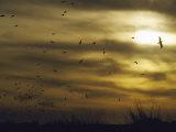 Kelp Gulls Take Flight at Sunset