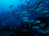 A School of Fish Find Protection in Numbers as They Swim over a Reef