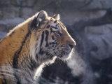 Profile of a Tigers Head