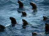 Steller Sea Lions Poke Their Heads Above the Water