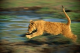 Panned View of a Young African Lion Running