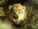 Close View of a Lion Cub