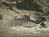 A Groups of Wildebeests Splash into a River