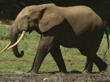 Side View of an Adult Forest Elephant Walking