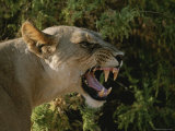 A Close View of a Snarling African Lioness