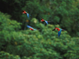 Red-And-Green Macaws in Flight in Madidi National Park