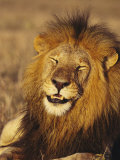 Male African Lion Dozing in the Sun