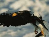 A Stellers Sea Eagle, Haliaeetus Pelagicus, Takes off from Sea Ice