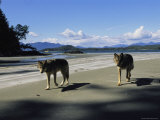 Gray Wolves on Beach
