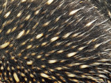 Detail of Echidna Back Quills and Spines