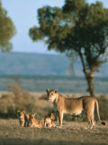 An African Lion Stands with Her Cubs
