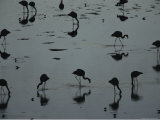 Silhouetted Migratory Flamingos Feeding in a High-Altitude Lake