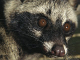 A Close View of the Face of a Malayan Civet