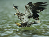 A Juvenile American Bald Eagle in Flight over Water Hunting for Fish