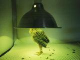 A Newly Hatched Attwaters Prairie Chicken