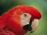 Portrait of Captive Scarlet Macaw