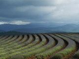 Rows of Lavender Under a Storm Cloud, Tasmania, Australia