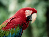 A Portrait of a Captive Red and Green Macaw
