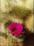 Close View of Hedgehog Cactus Flower
