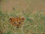 An African Lion Cub Peers Through the Grass