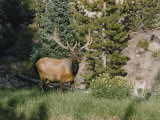 A Magnificent Elk Stands at the Edge of the Woods
