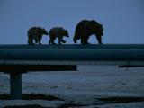 Three Grizzly Bears Walking on Some Pipes