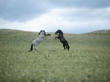 Wild Horses Spar over Territory or Mares