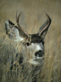 Close View of the Head of a Mule Deer