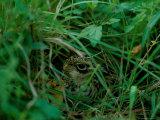 Attwaters Prairie-Chicken Hidden in the Grass