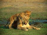 A Young Lion Climbs on the Back of its Mother