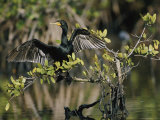 Double-Crested Cormorant with Wings Outstretched