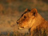 Profile Portrait of an African Lioness