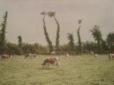 Cows Graze in a Field in Normandy