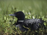 An Common Loon in Breeding Colors on its Nest with a Day-Old Chick