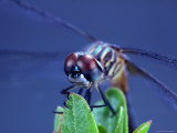 Close-up of a Male Blue Dasher Dragonfly