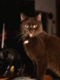 Portrait of Pet Cat with Protruding Tongue